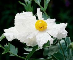 Matilija Poppy  Plant Name: Romneya coulteri  Growing Conditions: Full sun and well-drained soil.  Size: To 8 feet tall and 4 feet wide