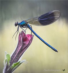 Calopteryx splendens ....The Banded Demoiselle | Flickr - Photo Sharing!