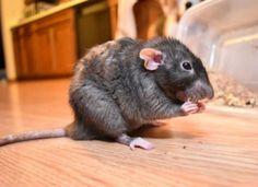 صيد الفئران مكافحة الفئران صيد الجرزي 0546877444 MTC-RIYADH انشاء وصيانة المسابح بالرياض مكافحة الحشرات خدمات التنظيف