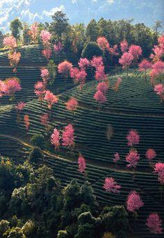 Arboles florecen en un paraje escénico en el condado autónomo Yi de Nanjian, en la provincia de Yunnan, al suroeste de China. (Foto: XINHUA)