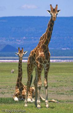 Rothschild Giraffe Calf | ... than individuals in africa geographic story african giraffe giraffe