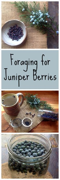 Foraging for Juniper Berries~ More than just gin! www.growforagecookferment.com