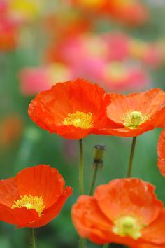 Poppies' Field