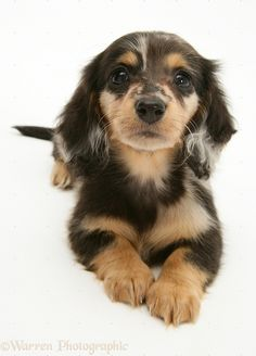 Silver Dapple Miniature Long-haired Dachshund pup.