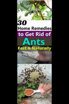 If you don't want to see ants crawling in your home and garden. Try one of these 30 Natural Home Remedies to Get Rid of Ants! Natural Remedies For Ants, Home Remedies For Ants, Ant Remedies, Ants In Garden, Garden Pests, Plant Pests, Ants In House, Get Rid Of Ants, Diy Pest Control