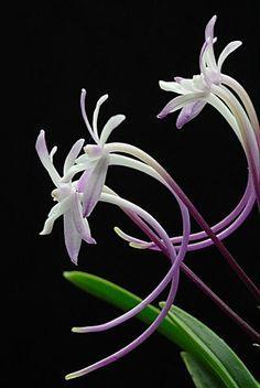 Neofinetia falcata v. Shutenno - a popular small coconut fragrant orchid in Japan.