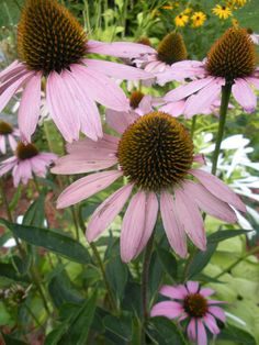 Purple Cone Flower. I want these in a bouquet! Is that too much to ask for!?