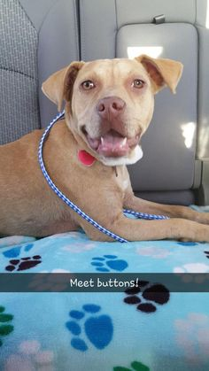 Adopt Buttons On Cat Help Terrier Mix Dogs Pitbull Terrier