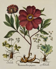 Paeonia flore purpureo, from Hortus Eystettensis (Garden of Eichstätt), Nürnberg, 1613, 1640, 1713    The great florilegium by Basilius Besler (1561-1629) is one of the most ambitious and splendid books ever produced on ornamental flowering plants. In more than a thousand drawings of great accuracy and astonishing freshness of color, Besler recorded, season by season, every variety of plant in the fabulous garden he had helped to create for Konrad, bishop-prince of Eichstatt.
