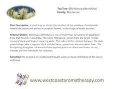 Tea Tree Plant, History, extraction West Coast Aromatherapy - Google+