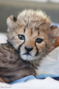A lone Cheetah cub rejected by his mother at Wildlife Safari joins a litter of four cubs in the Cincinnati Zoo & Botanical Garden's nursery. Read the full story at ZooBorns.com and at http://www.zooborns.com/zooborns/2016/04/rejected-cheetah-cub-finds-a-home-at-cincinnati-zoo.html