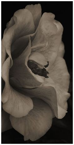 """Flowers in Neutral Moment-2015 """" Camellia Japonica-#8 """" Archival pigment print Printed on cotton rag fine art paper Photo by Soichi Oshika"""