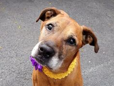 TO BE DESTROYED 5/24/14Manhattan Center - PMy name is JUDY. My Animal ID # is A1000407.I am a female tan labrador retr mix. The shelter thinks I am about 10 YEARS old.I came in the shelter as a STRAY on 05/19/2014 from NY 11411, owner surrender reason stated was STRAY. MOST RECENT MEDICAL INFORMATION AND WEIGHT05/23/2014 Exam Type RE-EXAM - Medical Rating is 4 C - SEVERE CONDITIONS , Behavior Rating is AVERAGE, Weight 70.2 LBS.MPOD, coughing A: Kennel Cough P: Doxy 100mg 3.5 tabs po sid x 10…