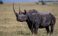 'Recently I saw a huge black rhino in the Masai Mara with three horns - I am not making this up. He was limping and in January he died. Thankfully of old age.'
