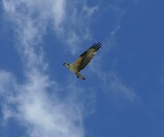 Osprey hovering over the water behind our house on Raymond's Gut.