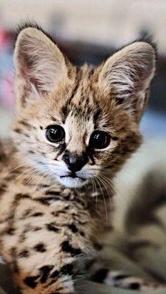 Meet Sheldon baby serval recently born at Point Defiance Zoo and Aquarium Cute Baby Animals, Animals And Pets, Funny Animals, Small Animals, Wild Animals, Funny Cats, Cute Kittens, Cats And Kittens, Big Cats