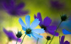 цветы, голубой, лепестки, фиолетовый