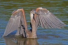 Practical urban exploration blog on the Trinity River  Great Blue Heron in a pond at the Lower Chain of Wetlands near Honey Springs, summer 2015