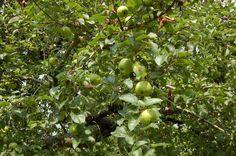 Apple tree at Ephrata Cloister. Ephrata Cloister, Apple Tree, Gardens, Fruit, The Fruit, Garden, Garden Types, Tuin, House Gardens