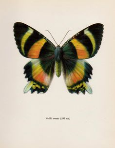 Vintage MOTH Print Beautiful Moth Art Insect by plaindealing