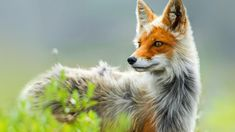 Fuchs als Haustier? wild animals and fancy pets The post Fox as a pet? Does the fox count among the fancy pets? appeared first on Animal Bigram Ideen. Amazing Animals, Unusual Animals, Animals Beautiful, Strange Animals, Unusual Pets, Majestic Animals, Nature Animals, Animals And Pets, Cute Animals