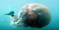 Se uma água viva pequena já pode causar dor intensa e queimaduras na pele, imagine uma gigante, que vive nas profundezas do mar? A água-viva australiana é o animal marinho mais venenoso conhecido pela humanindade e sua picada pod matar um ser humano
