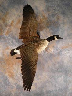 canada goose guld