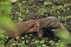 Mongoose vs Monitor Lizard
