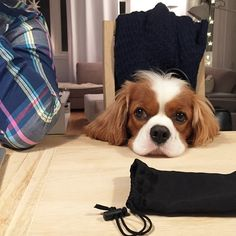 cavalier Rico - I don't wanna help you with all your homework and exams, but I love to watch you practice❤️ ...but don't wake me if I fall asleep...