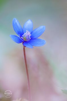 ~~reduced to the essentials | hepatica nobilis | by Gerhard Vlcek~~