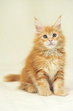 Maine Coon Kitten Orinoco by © indycoon, via Flickr.com