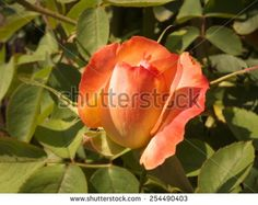 Orange rose. - stock photo