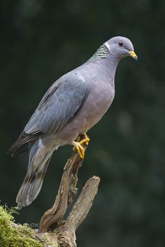 Wild Band-tailed Pigeon by Chris Hansen on Birds In The Sky, All Birds, Love Birds, Most Beautiful Birds, Pretty Birds, Animals Beautiful, Exotic Birds, Colorful Birds, Greek Gods