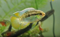 laetacara curviceps - Google Search