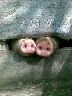 50 Funny Pig Pictures to Make You Laugh Farm Animals, Animals And Pets, Funny Animals, Cute Animals, Nature Animals, This Little Piggy, Little Pigs, Beautiful Creatures, Animals Beautiful