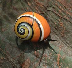 """Polymita picta, common name the """"Cuban land snail"""" or the """"painted snail"""", is a… Beautiful Bugs, Animals Beautiful, Hermit Crab Homes, Pet Snails, Snails In Garden, Cuba, Snail Shell, Sea Slug, Painted Shells"""