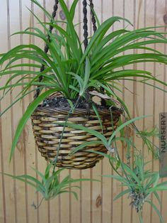 Heirloom Green Chlorophytum Spider Plant #CHL-COH