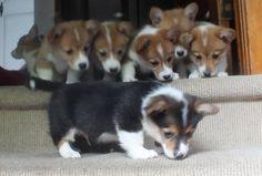 PUPPERS! #corgi #corgioverload #cuteness #petoverload #welsh #pembroke #puppy #potato
