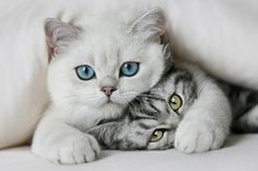 İngiltere yolcusu kalmasın: Kedi bakıcılığı yapmaya var mısınız? Haberin devamı ajanimo.com'da.. #ajanimo #ajanbrian #kedi #cat #animal #animals #hayvan  #petslover #pets #pet