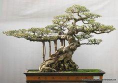 Bonsai 1733