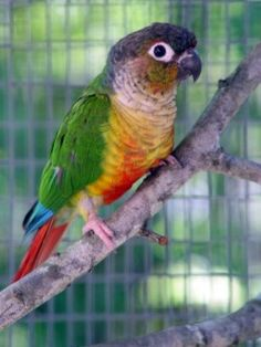 Yellow-sided green cheek conure, just like Cappy. Hi Cappy Exotic Birds, Colorful Birds, Exotic Pets, Cockatiel, Budgies, Conure Bird, Animals And Pets, Cute Animals, Funny Parrots