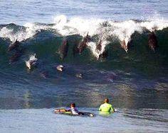 Sharing waves with the dolphins.they like to surf too No Wave, Orcas, Photo Surf, Funny Dolphin, Cool Pictures, Cool Photos, Amazing Photos, Funny Pictures, Nature Pictures
