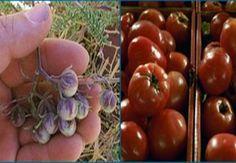 Πώς οι #Αζτέκοι δημιούργησαν τη σημερινή #ντομάτα Αρχικά ήταν ένας μικρός άνοστος καρπός – τα γενετικά μυστικά της μεταμόρφωσής της μπορούν να οδηγήσουν στη μεγέθυνση οποιουδήποτε φρούτου   #tomato #Aztec #history  http://fractalart.gr/aztec-tomato/