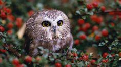 Free Wallpaper - Free Animal wallpaper - Owl and Eagle wallpaper - - 5 Owl Bird, Pet Birds, Owl Background, Owl Home Decor, Saw Whet Owl, Owl Wallpaper, Leaves Wallpaper, 1080p Wallpaper, Desktop Wallpapers