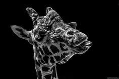 Portrait d'une girafe en noir et blanc Photographe: Romain Shooting  © R o m a i n S h o o t i n g ▷ ▶ Tous droits réservés  Facebook: https://facebook.com/romainshootingphotographies/