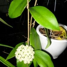 Tanaman Hoya Putih (White Hoya)