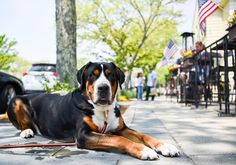 """Winston Greater Swiss Mountain Dog (5 y/o) Main St & Academy Lane Falmouth MA """"He just chills while we eat."""" #thedogist"""