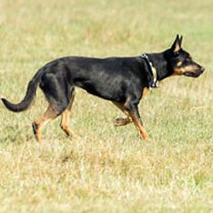 Working Kelpie #dogs #pets #ShermanFinancialGroup
