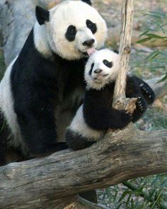 Funny And Cute Pandas
