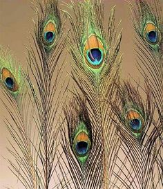 Peacock Eye Feathers for sale - these have to be one of nature's most beautiful accessories.  A vase of these on the piano maybe.